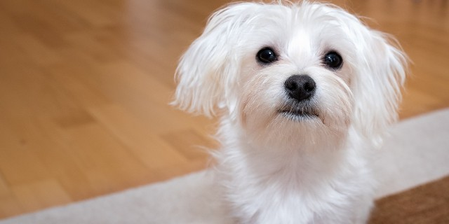 Melhores cachorro para apartamento