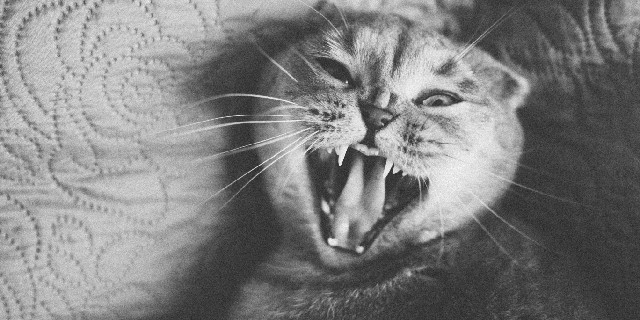 Tipos de miado de gato