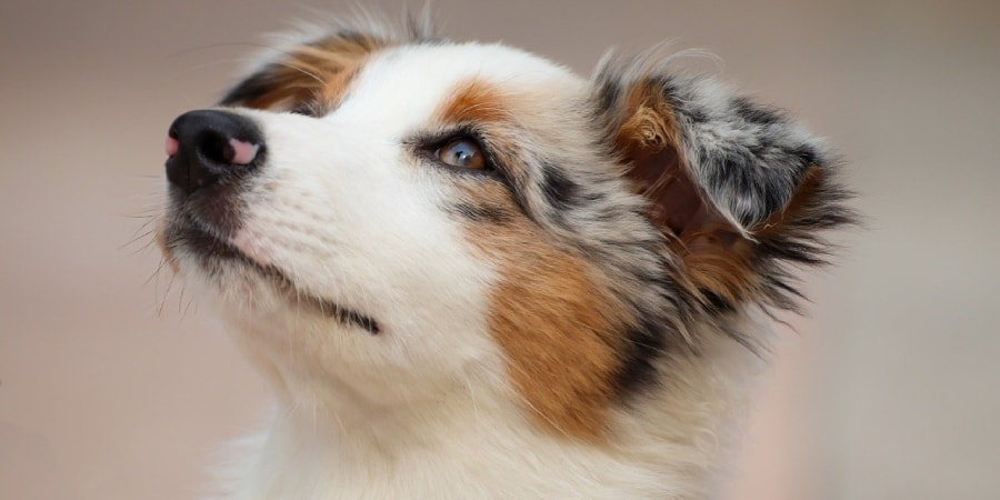 Cursos de adestramento cachorros online