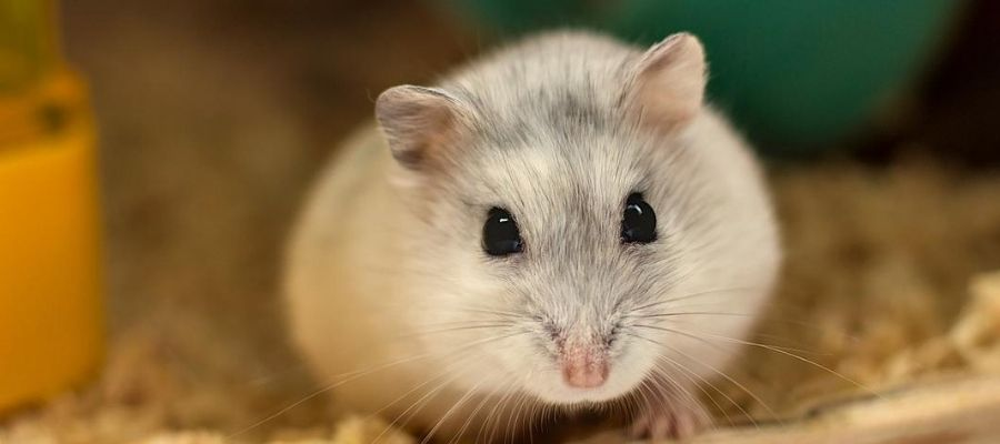 Tipos de hamsters