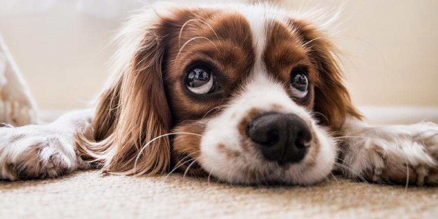 Coronavírus em cães