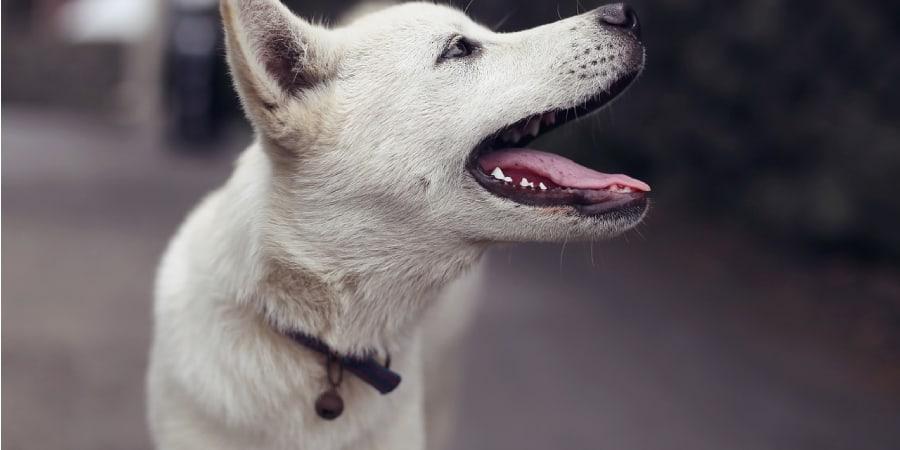 Tipos de latidos de cachorro