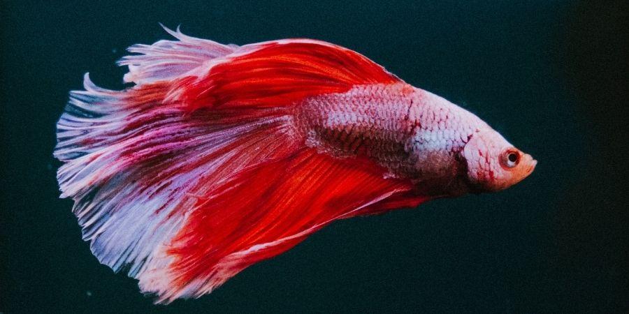 como criar peixes betta