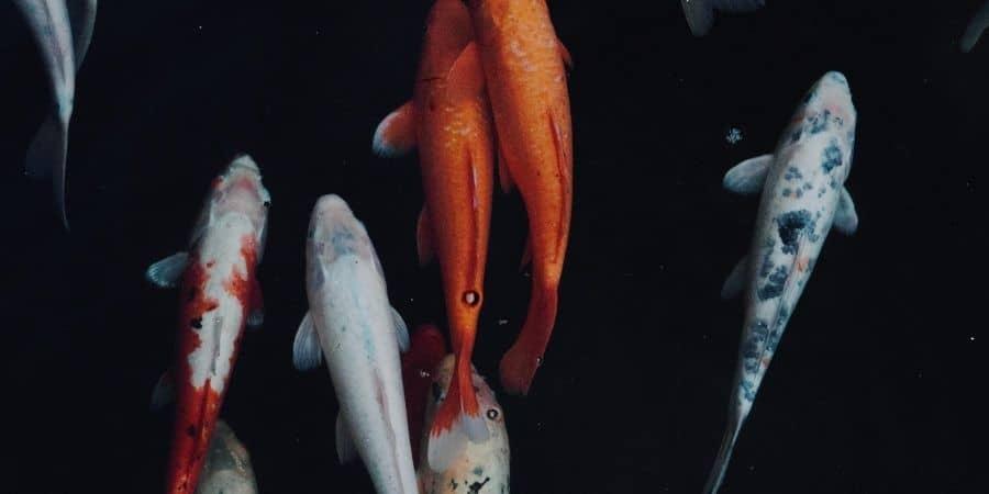 como ganhar dinheiro criando peixes